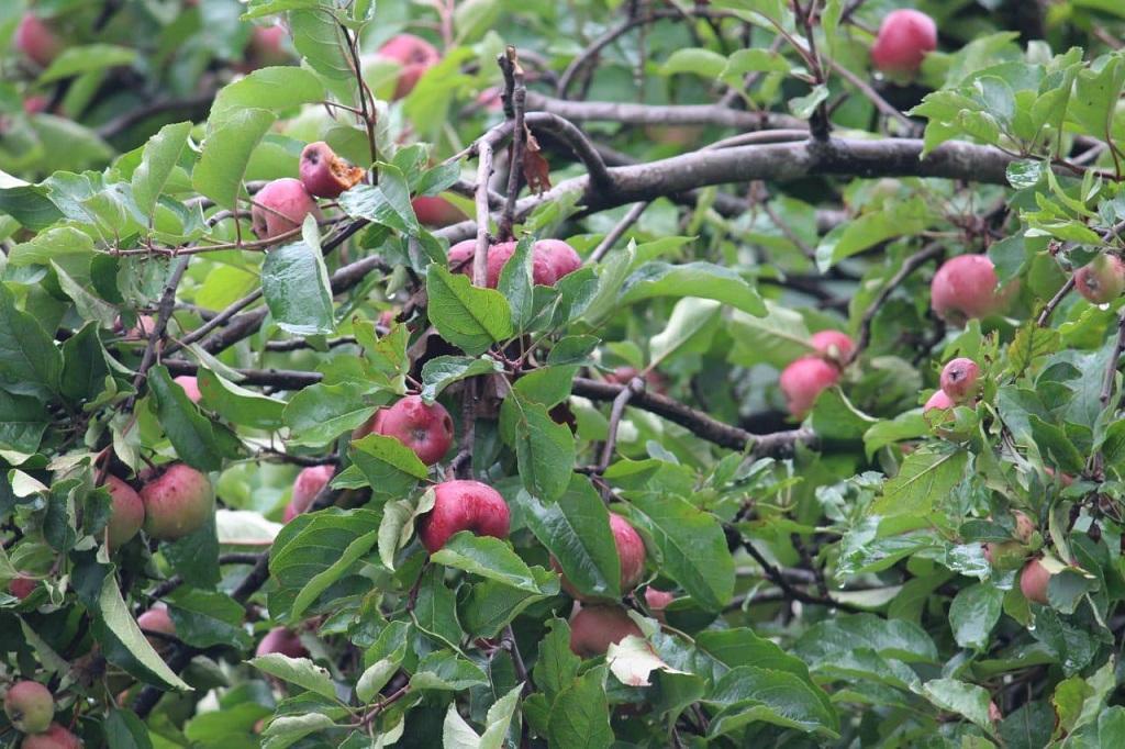 उत्तराखंड में इस बार सेब का उत्पादन 25 फीसद ज्यादा, ये हैं वजह