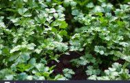 उत्तराखंड मे उत्पादित सुगंधित व औषधीय धनिये पौंधों ने वैश्विक रिकॉर्डस की ओर बढ़ाए कदम